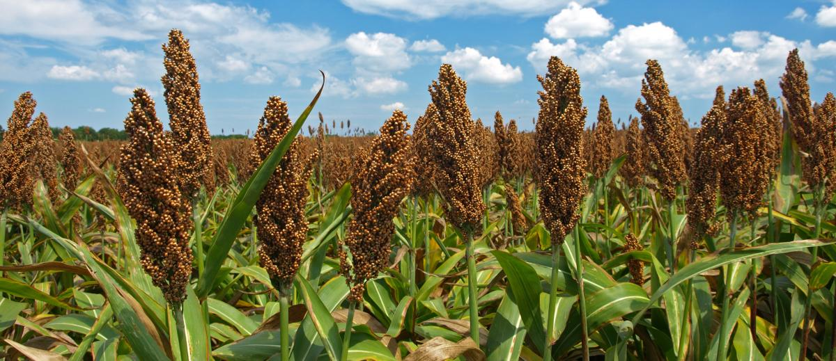 Field of sorghum