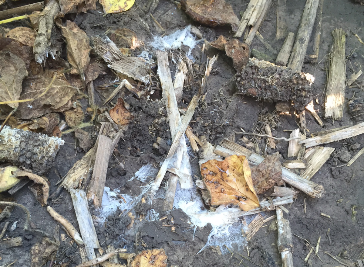 Fungus on soil not indicative of white mold in soybean
