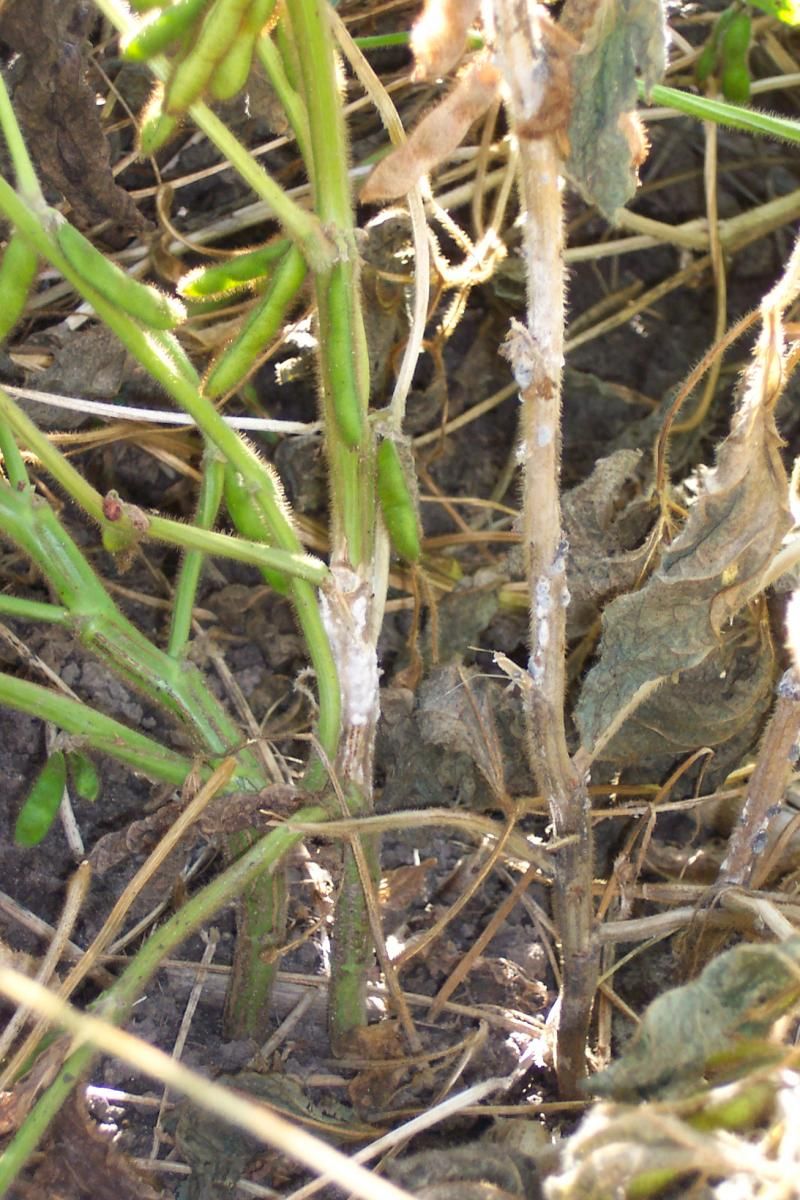 white mold symptom in soybean