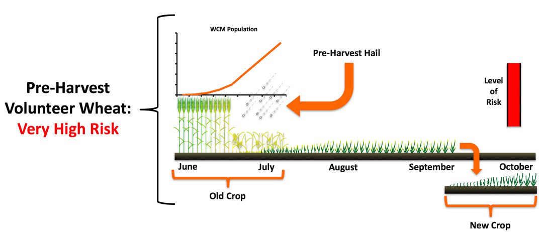 Figure showing value of controlling volunteer wheat pre-harvest