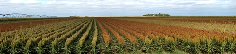 sorghum field trials