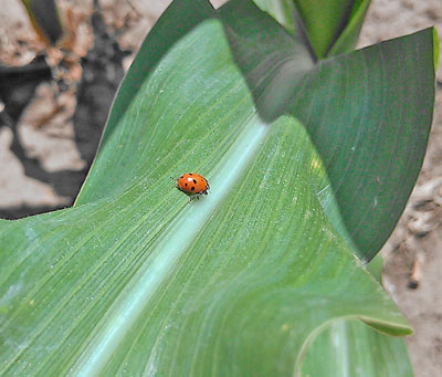 Beneficial lady bug in corn