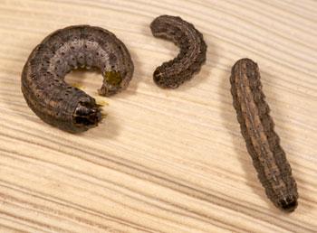 army cutworms