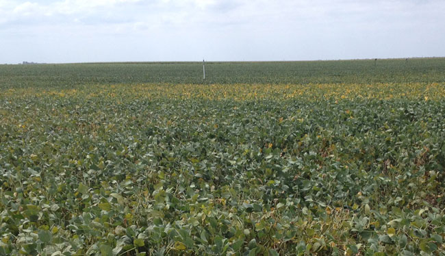 Photo of field of maturing soybeans