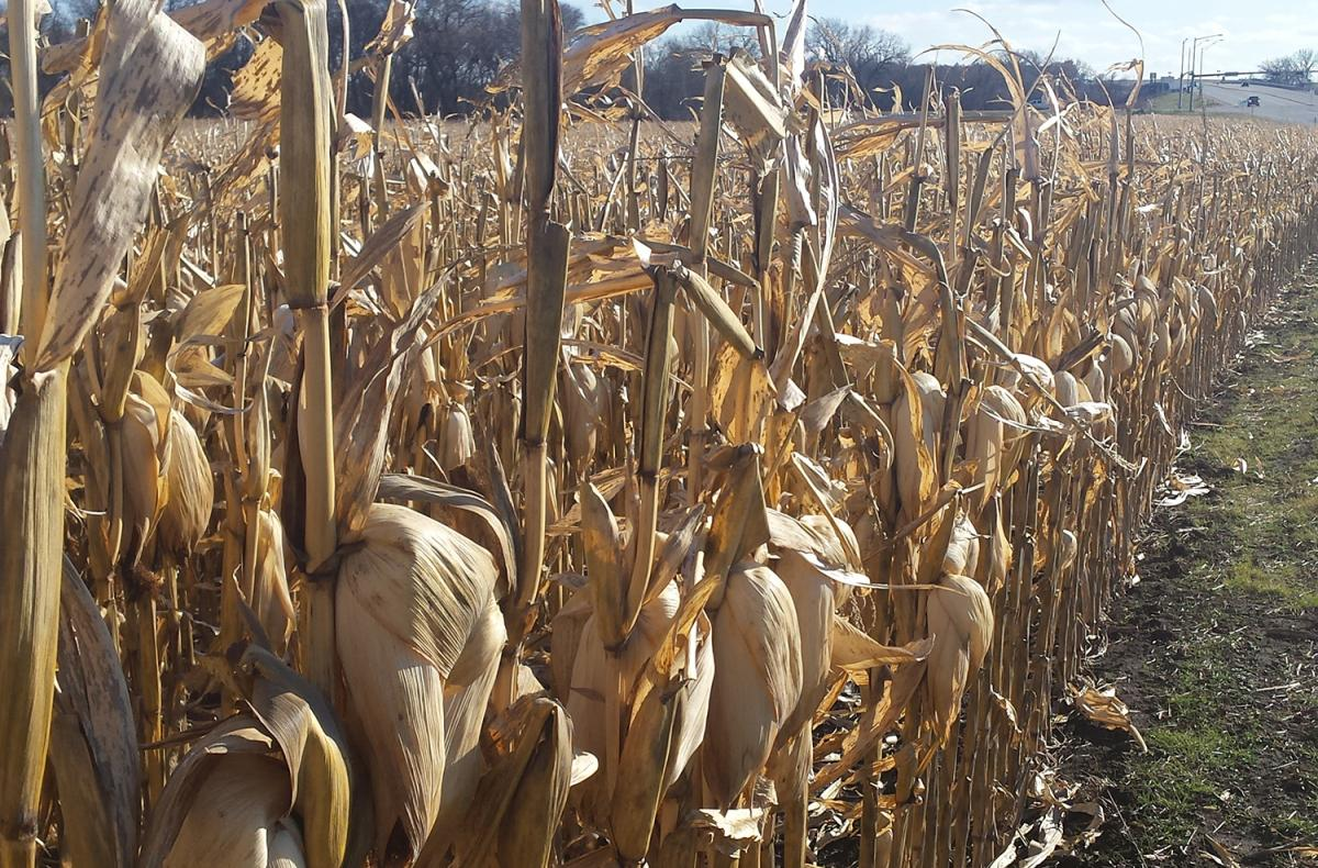 Unharvested field of mature corn in Saunders County in late November 2015.