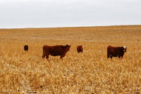 Cattle grazing cornstalks