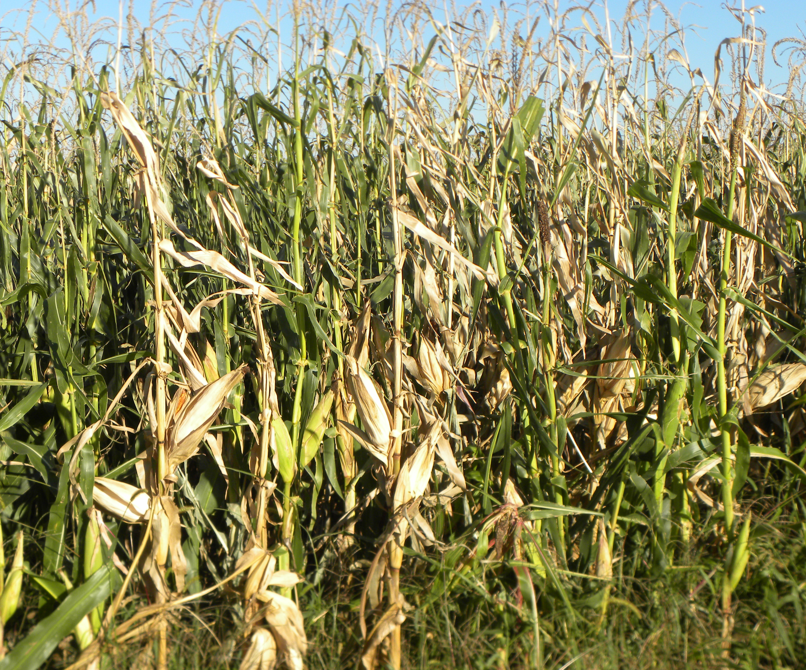 Corn field exhibiting stalk rot symptoms