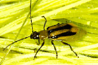 Corn rootworm adult