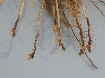 Corn lesion nematode root damage