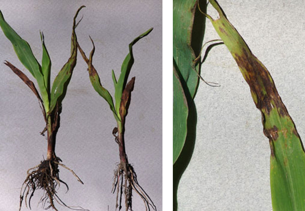 Anthracnose lesions on corn