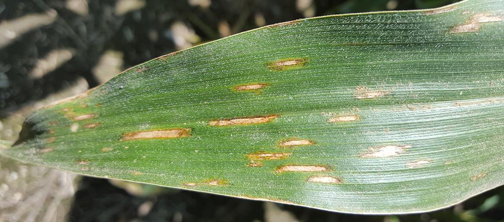 Corn Disease Update 8 21 15 Cropwatch University Of