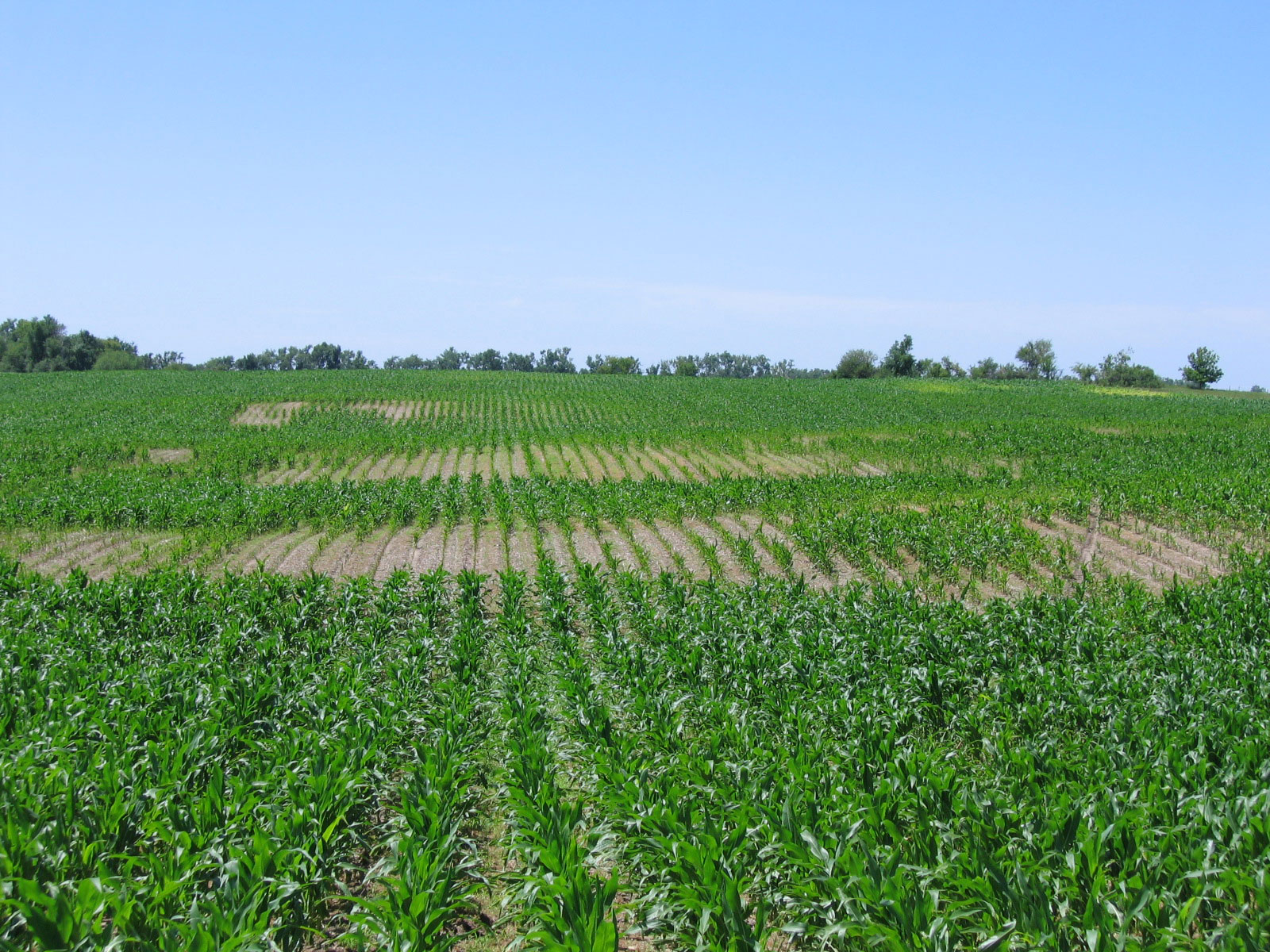 Severe nematode damage in corn