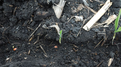 Variable corn emergence