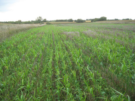 Cover crops planted for forage