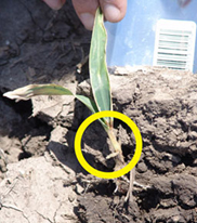 Seedling decay in early planted corn