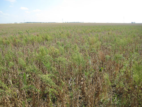 Soybean field thick with glyphosate-resistant marestail