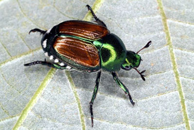 Japanese beetle (Popillia japonica Newman)
