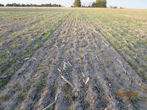 Lincoln County winter wheat injury March 2015
