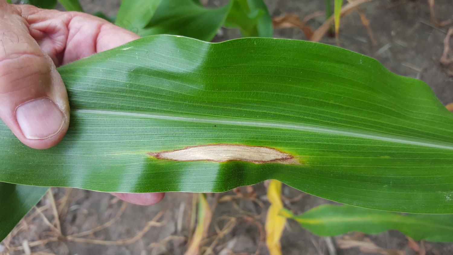 Fungicide Use and Precautions in Corn | CropWatch | University of ...