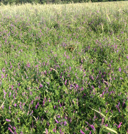 vetch cover crop