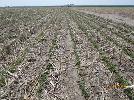 REcovering soybean on July 1