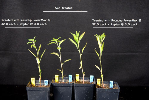 multiple herbicide resistant weeds and challenges ahead. Black Bedroom Furniture Sets. Home Design Ideas