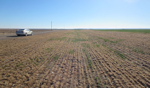 Winterkilled wheat in field silted in by 2012 wind storm