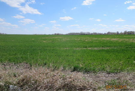 Winter-killed wheat south of North Platte