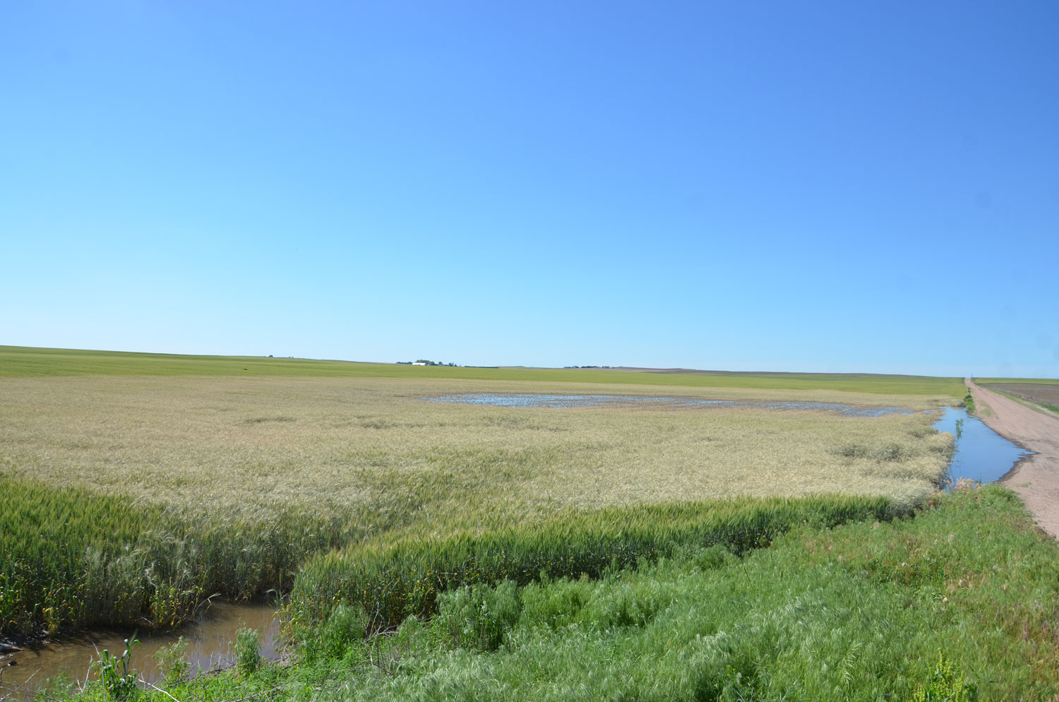Wheat flood damage in Chase County