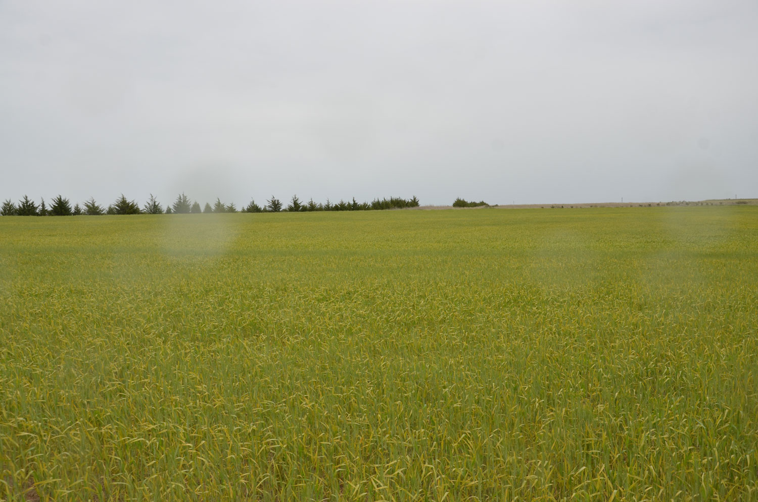 Stripe rust causing field of wheat to yellow