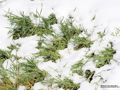 Winter wheat under snow cover in early May