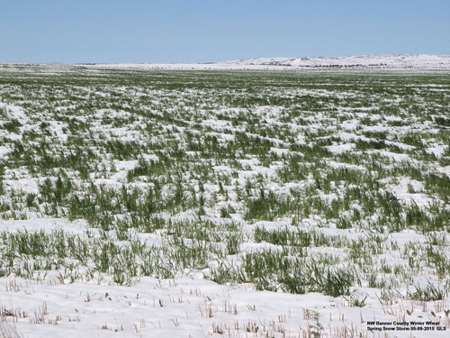 Snowy winter wheat, May 2015
