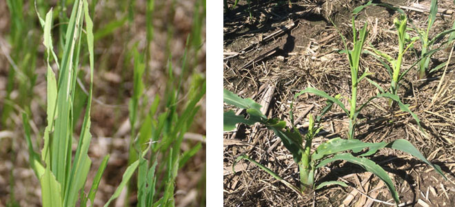Armyworm damage to brome, corn