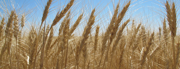 wheat header