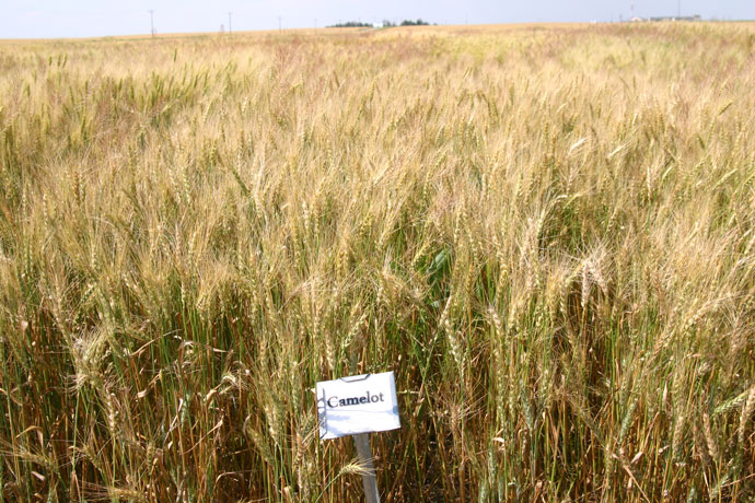 Camelot wheat variety