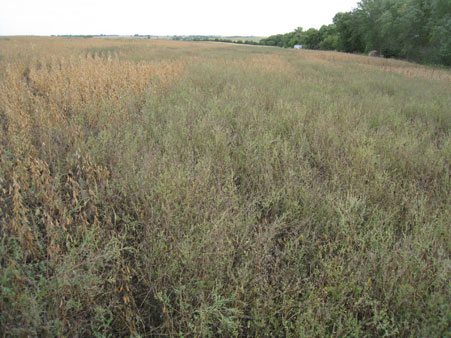 Ragweed competing with soybeans