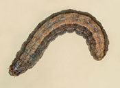 Claybacked cutworm larva