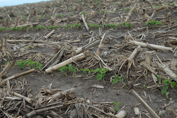 Emerged soybeans, Clay Center