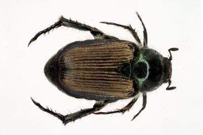 False Japanese beetle