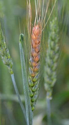 Wheat Disease Update Fusarium Head Blight Confirmed