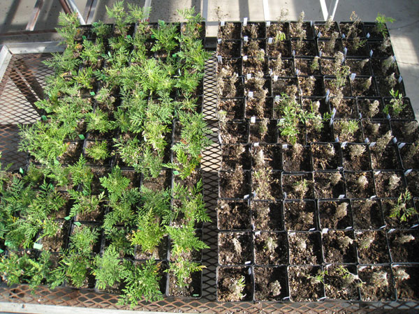 Greenhouse trial of glyphosate-resistant ragweed