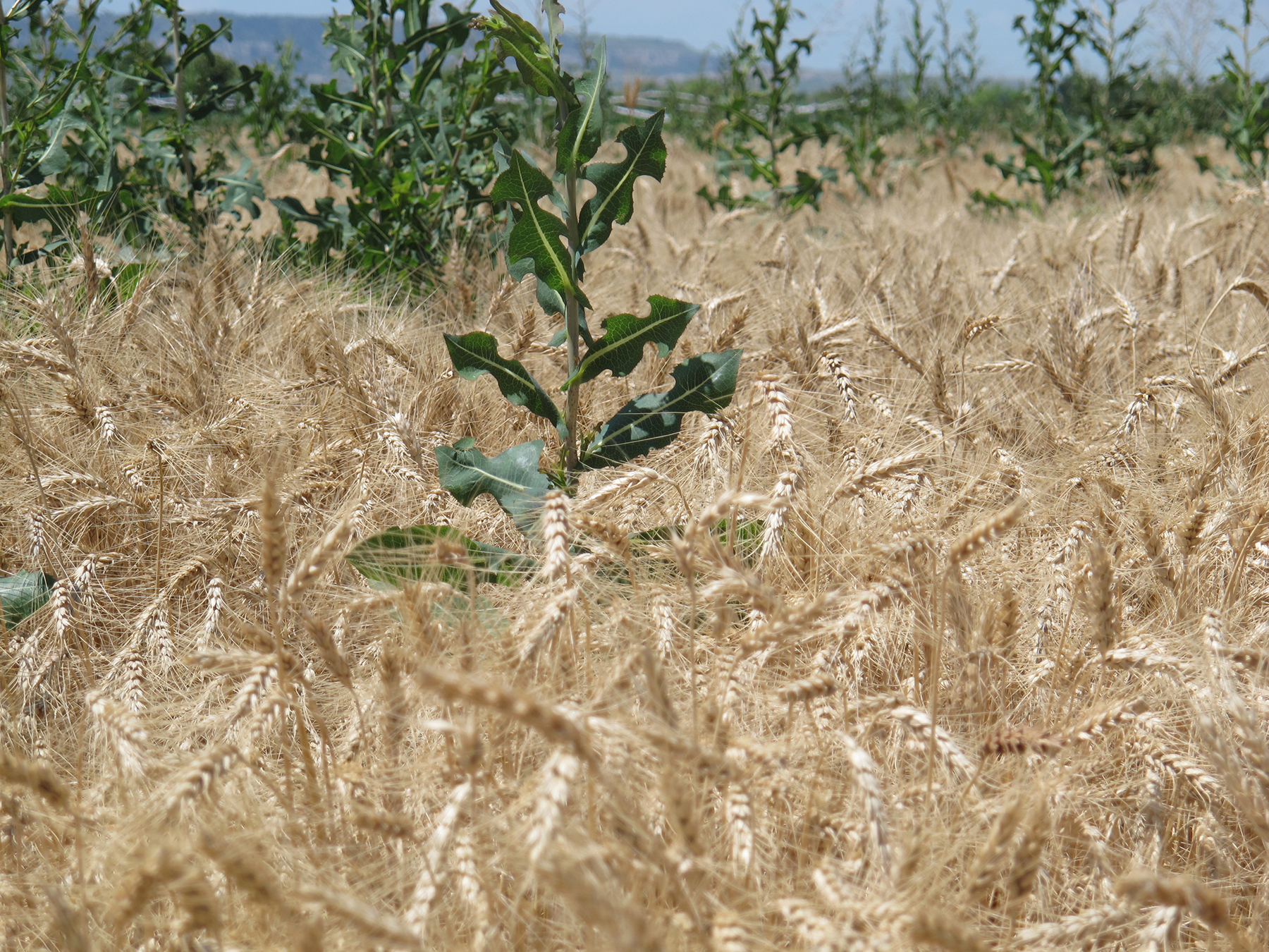weeds in wheat