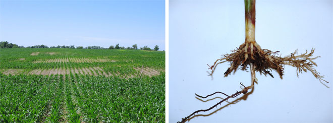 Corn field with nematode damage (left) and close-up of damage roots