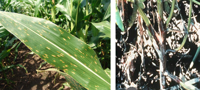 Photos of corn and soybean disease