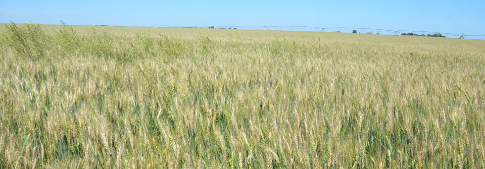 Wheat field with fusarium head blight