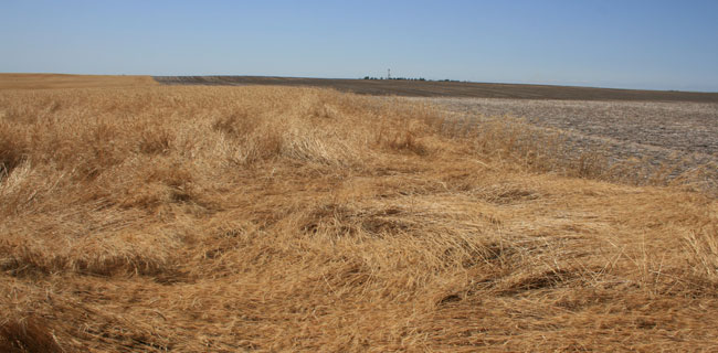 Panhandle wheat downed by wheat stem sawfly damage