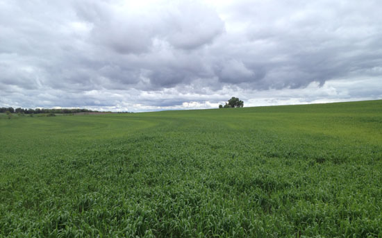 Yellowed winter wheat under storm clouds