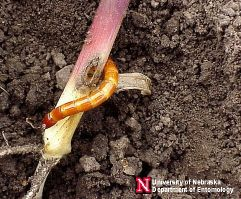 wireworm in sorghum