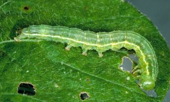 green cloverworm