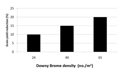 Effect of downy brome on grain yield